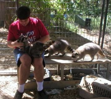 Steven plays with his raccoons