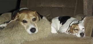 Beagles, Barney and Betty