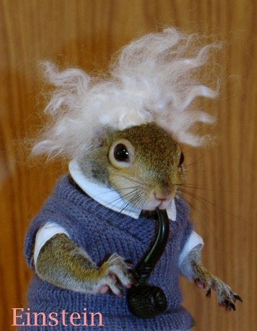 Sugar Bush Squirrel as Einstein