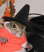 sugar bush squirrel in halloween costume witch boo