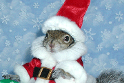 sugar bush squirrel in santa suit with white fur trim