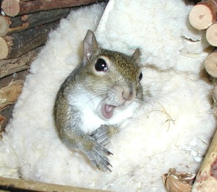 sugar bush squirrel says it's my opinion...